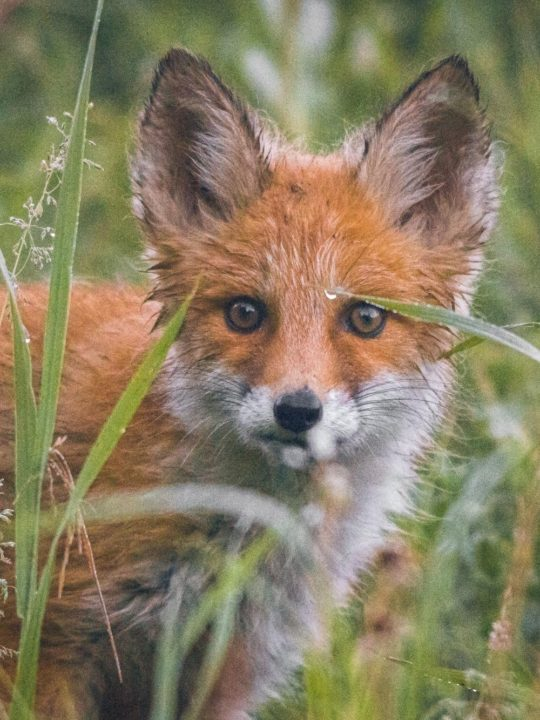 Foxes on the Farm & Protecting the Chicken Flock