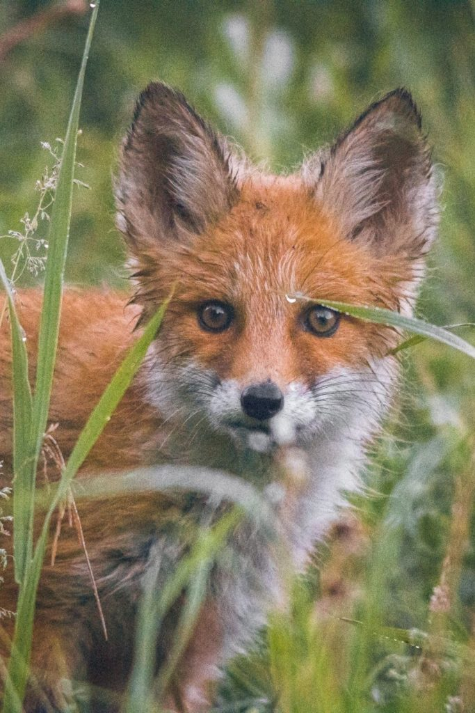 a zoomed in picture of the face of a red fox peeping through tall grass, both the fox and the grass are we from rain.
