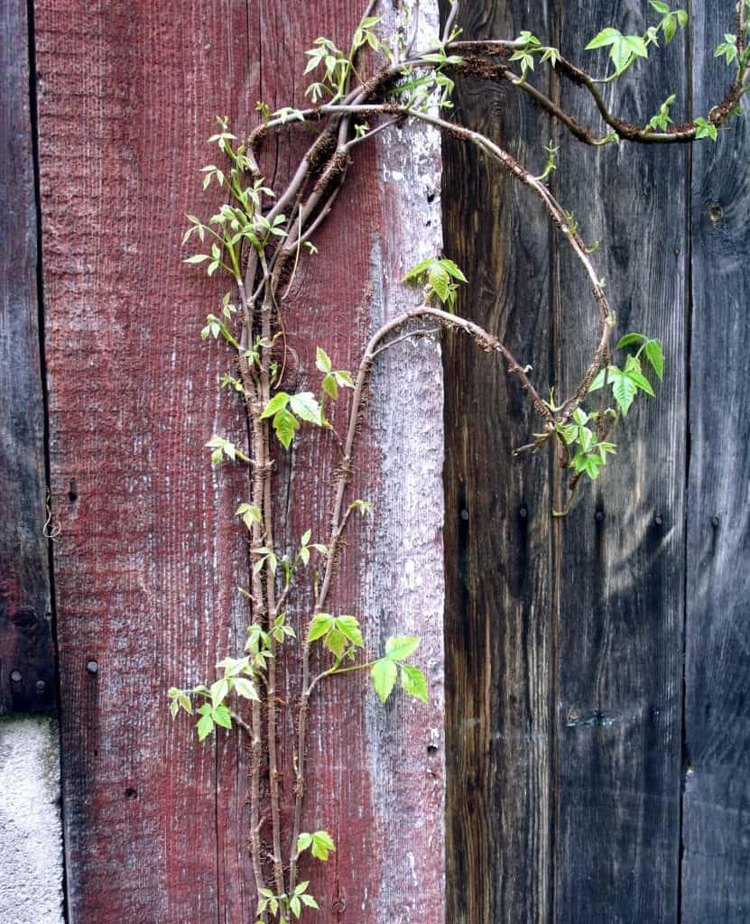 Around the Farm Friday: Poison Ivy