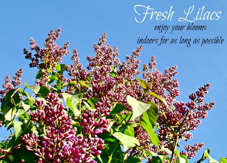 Fresh Cut Lilacs: How to enjoy your blooms indoors for as long as possible- Home in the Finger Lakes