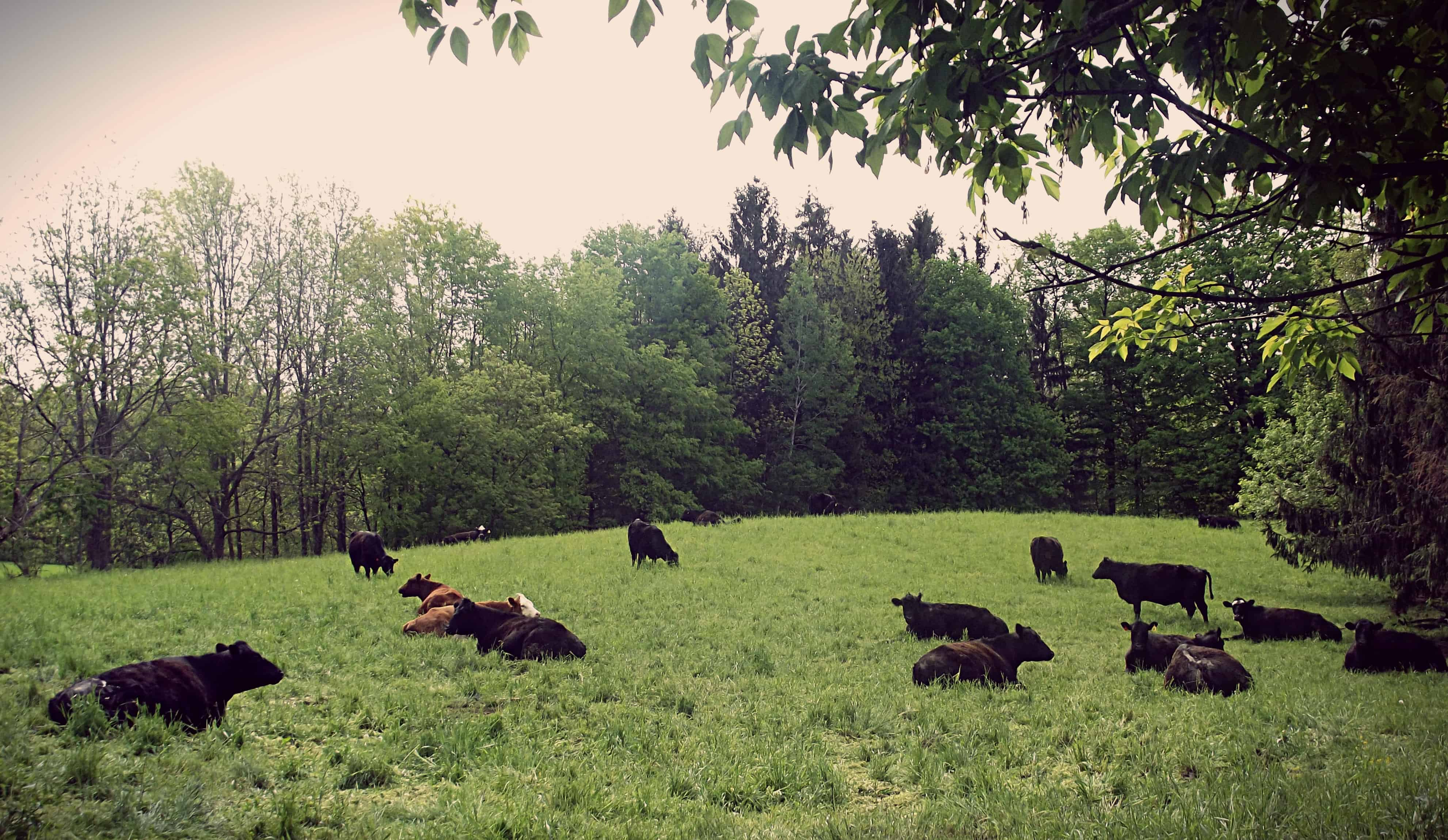 Cranky cow? Tips to stay safe