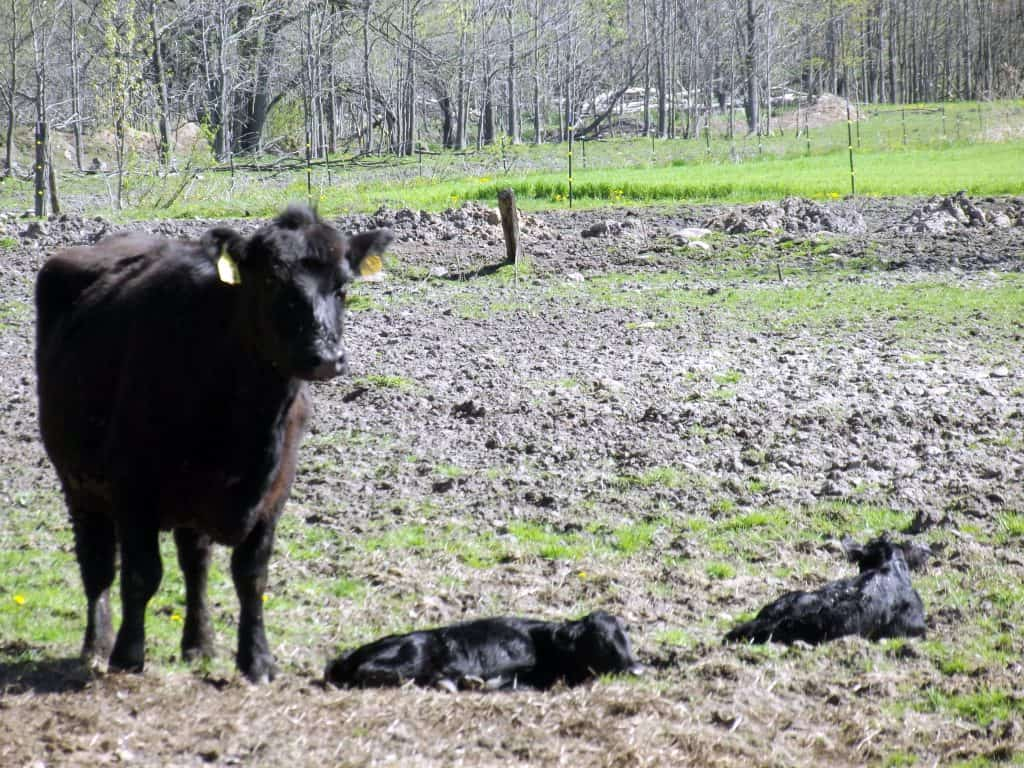 Twin Angus Calves-Home in the Finger Lakes