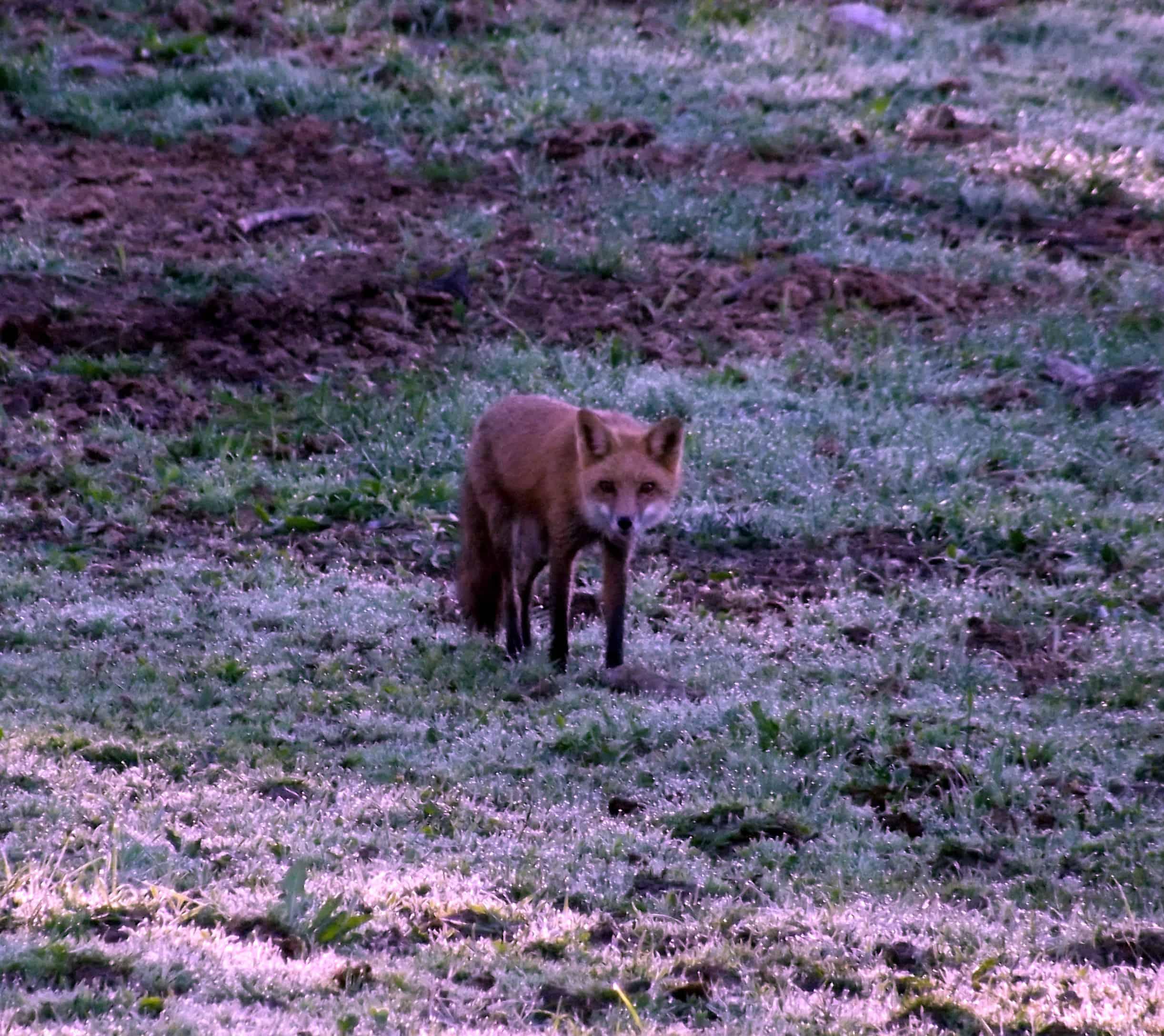 Around the Farm Friday: Red Fox