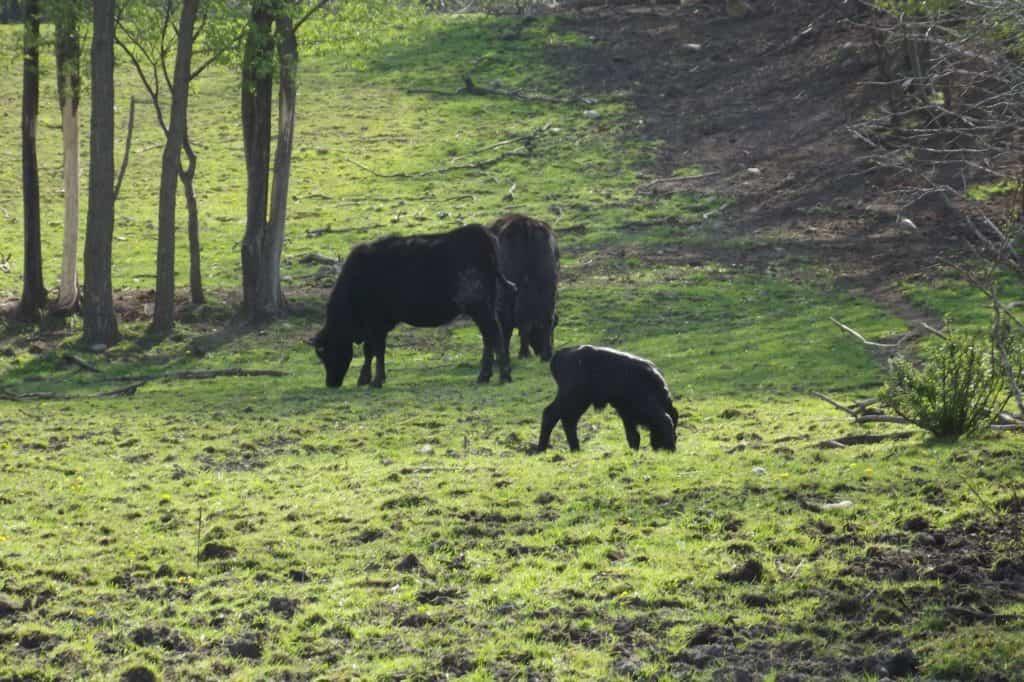 And so it begins, calving season on the farm