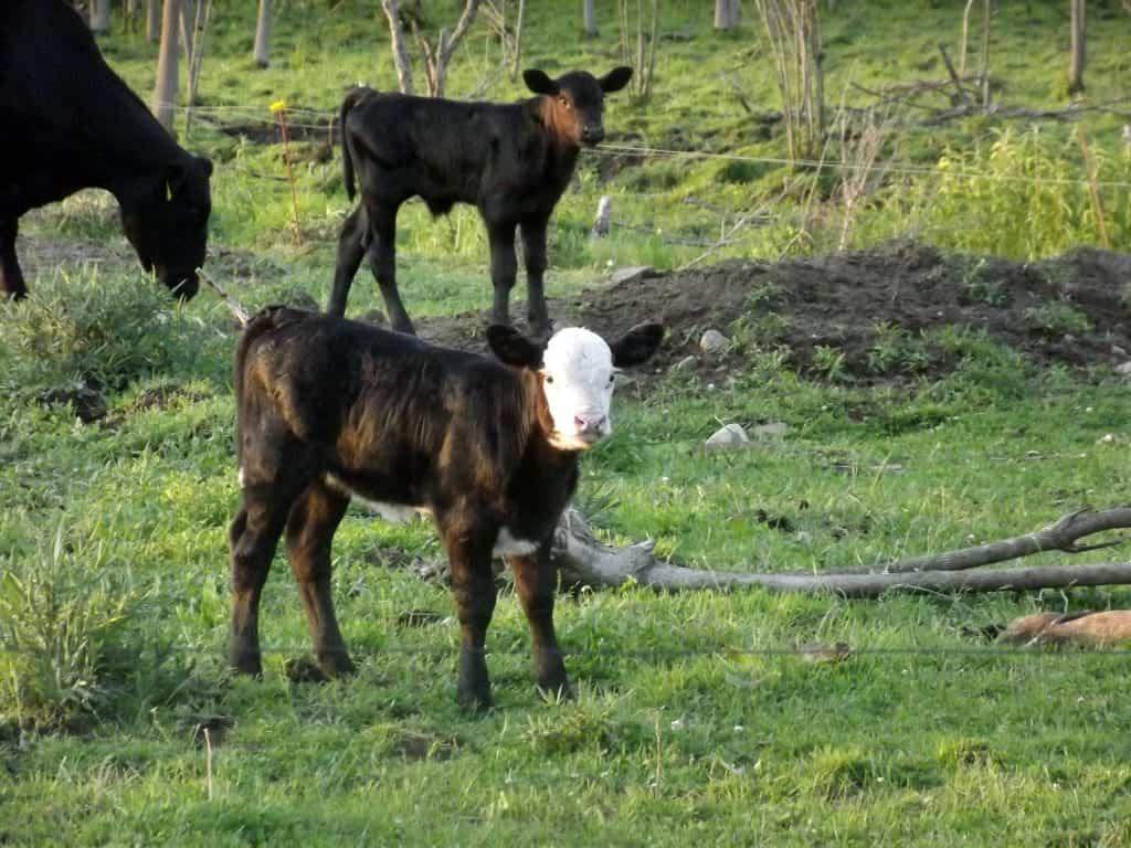 Evening Pasture Walk: Calving Season is winding down