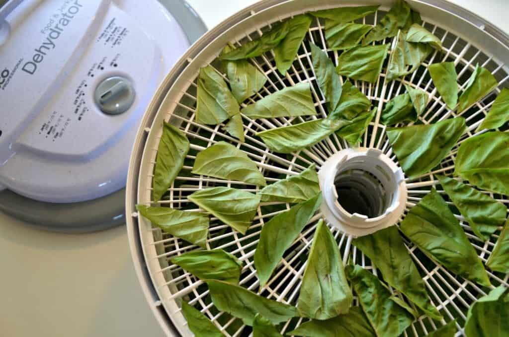 Drying fresh basil from your garden in a dehydrator