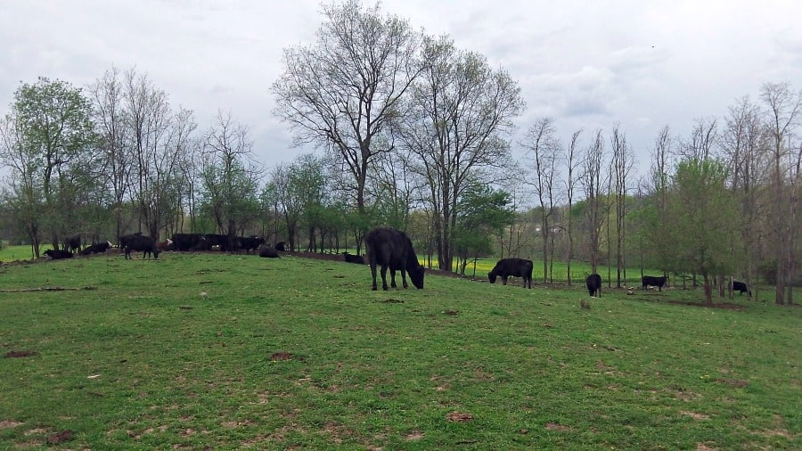 The calm before the storm: Calving Season 2014