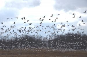 Spring 2015 Snow Geese in the Finger Lakes