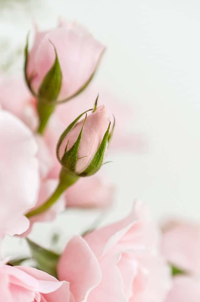 soft pink roses and rose buds, with a white background