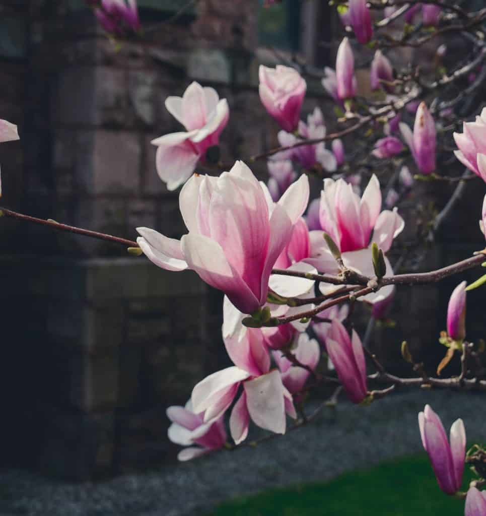 Pink magnolia bloom lit up by the sun, limestone church building in the background.