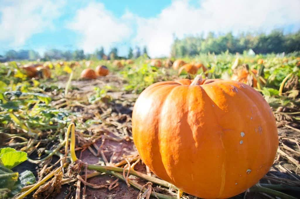 A pumpkin sitting upright in a pumpkin patch with a background of blue skies.