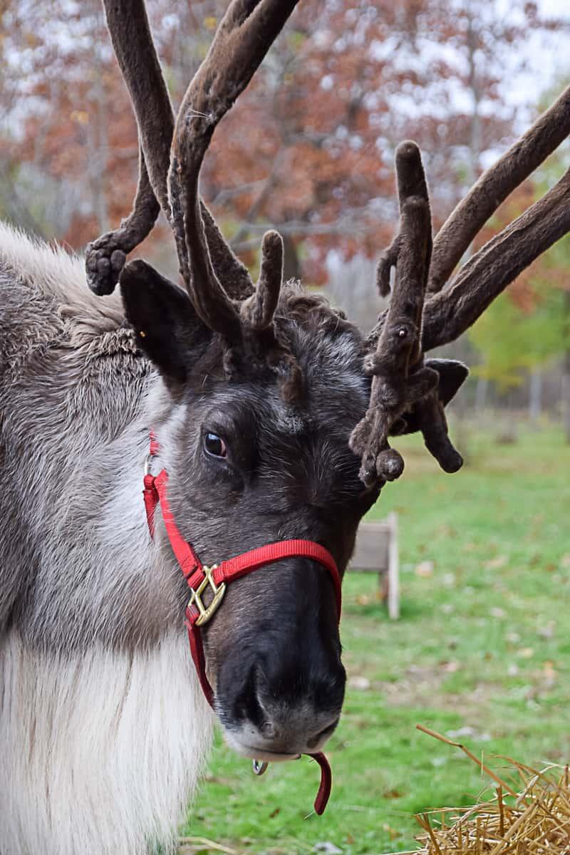Meet Ontario County's Resident Reindeer