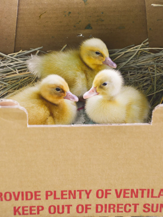 5 Things To Do As Soon As Mail Order Ducklings Arrive