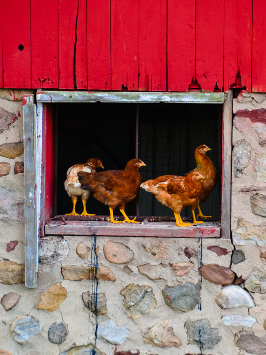 Eveything You Need To Know About Deep Litter Bedding In a Chicken Coop