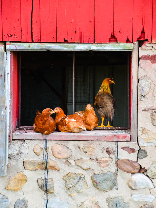 5  Gadgets to Boost Coop Security & Protect Chickens From Predators
