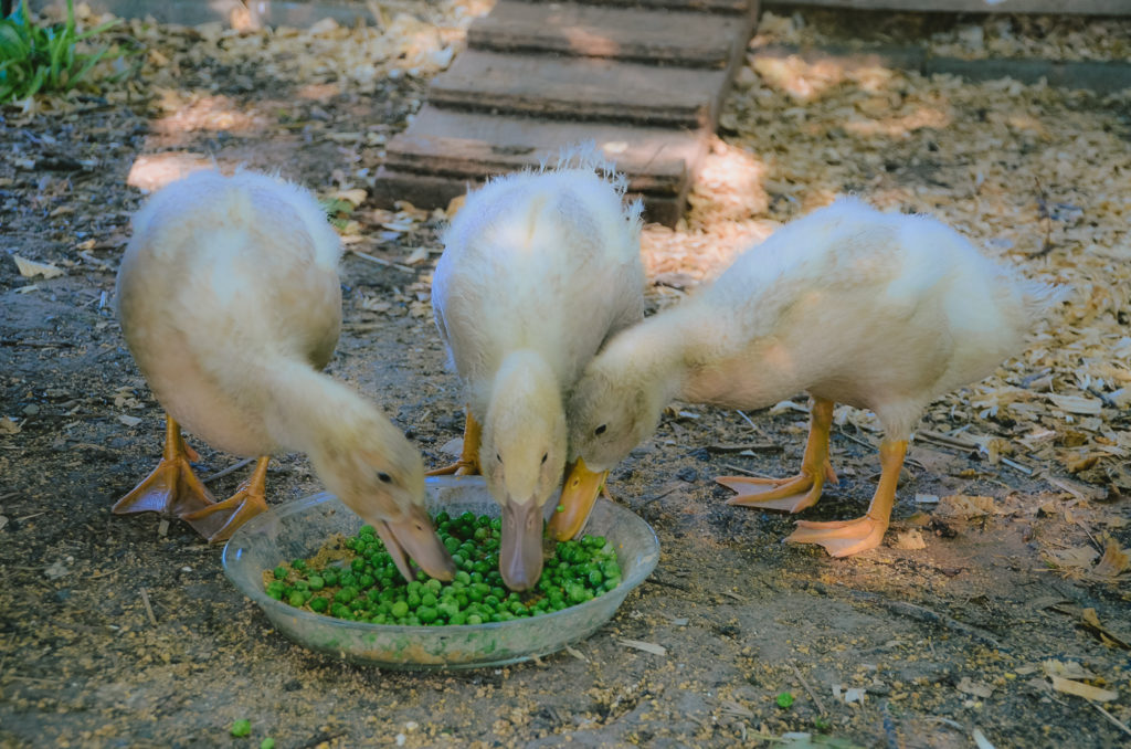 3- 4 week old female buff ducklings eating peas out of a glass pie dish in their duck run.