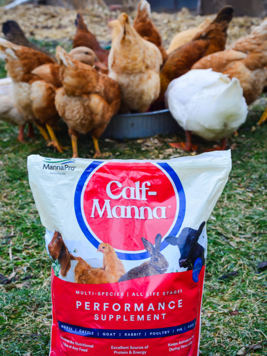 When & Why To Feed Your Chickens Calf Manna