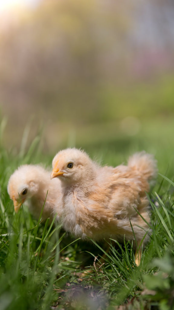 Two yellow chicks that are about 3 weeks old outdoors in green grass.