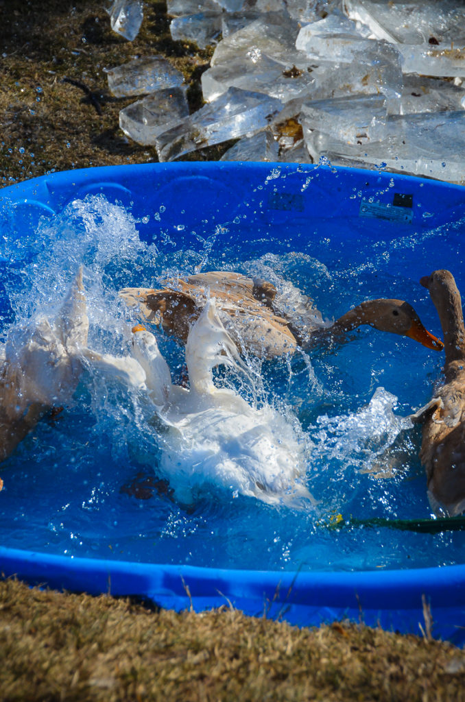 3 Buff Orpington ducks and 1 pekin ducks splashing in a plastic kiddie pool mid winter. Large chunks of ice that have been removed from the pool can be seen on the ground beside the pool