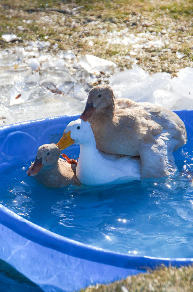 1 adult female pekin duck and two female buff orpington ducks in a blue plastic kiddie pool mounted on top of each other during mating season.