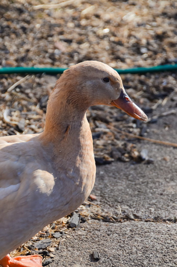 A side view of a female buff orpington duck standing on a sidewalk, a garden hose can be seen on the ground behind her.