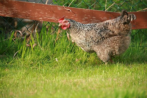 A mature speckledy hen in an enclosed outdoor chicken run.