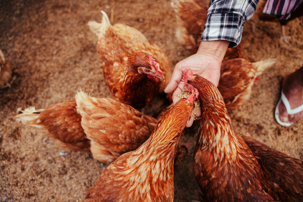 A mans hand feeding serveral red sex link chickens.