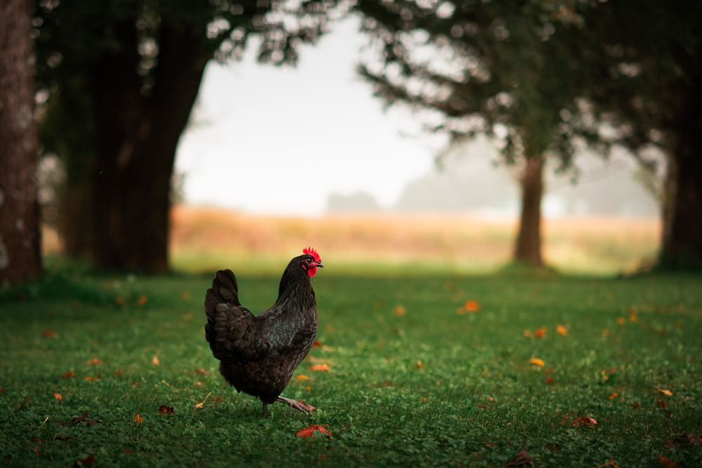 A Australorp hen on a lawn during fall.
